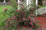 Zimmerman rosebush
