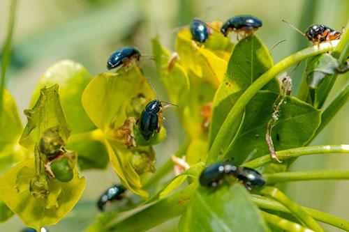 Leafy spurge beetles at Glenharold Mine
