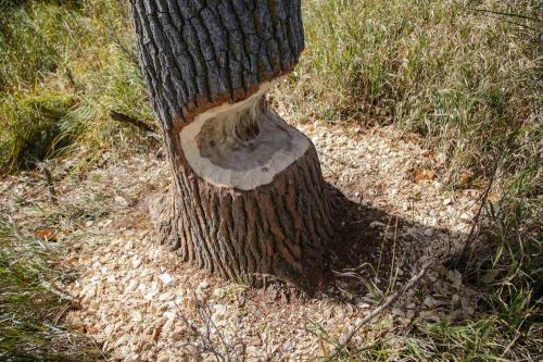 Beaver markings
