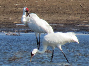 Whooping Cranes wading in shallow water
