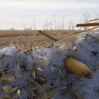 Corn stuck in snow piles.